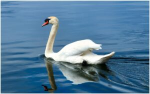 swan, water, plumage