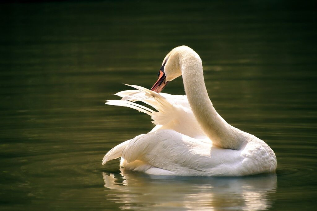 swan, bird, lake